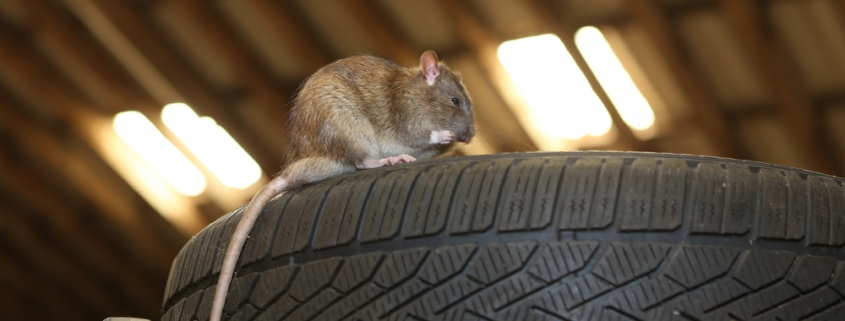Mouse in Garage